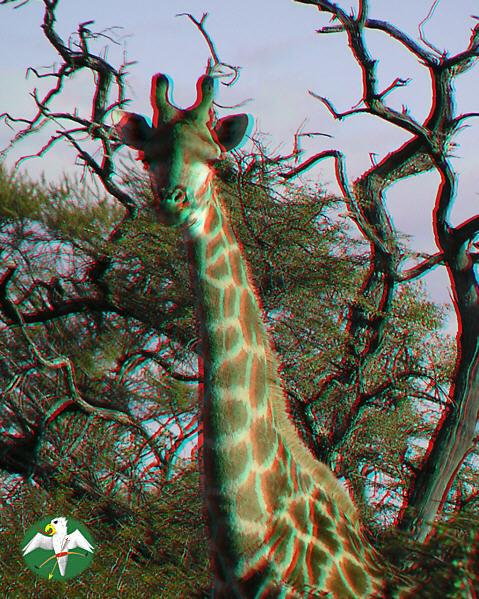 Giraffenbulle 3-D  © Falk 2004